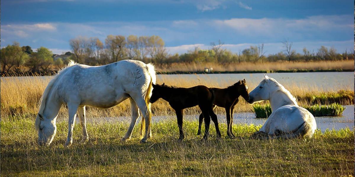 Race   le Camargue, cheval des gardians   Le mag des cavaliers voyageurs 568f66a138e
